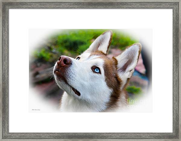 Expressive Siberian  Husky Photo C62017 Framed Print