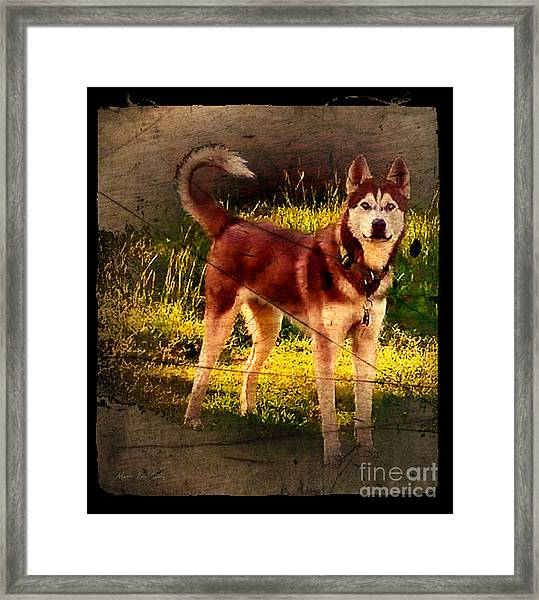 Framed Print featuring the photograph Expressive Mixed Media Husky A4116 by Mas Art Studio