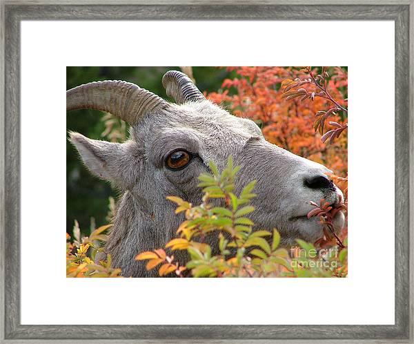 Eye On Ewe Framed Print