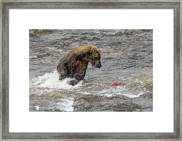 Eye On The Sockeye Framed Print