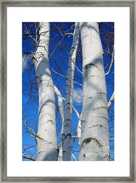 Eyes Of Birch Framed Print