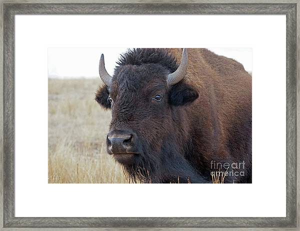 Framed Print featuring the photograph Face Of A Bison by Bill Gabbert