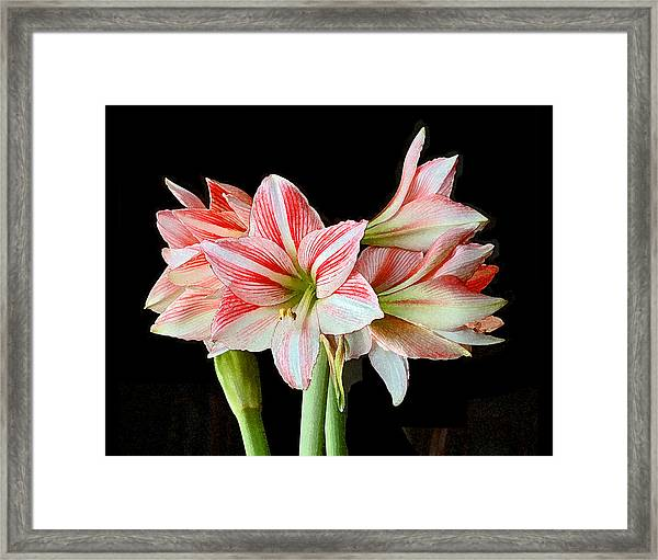 Fairyland Amaryllis  Framed Print