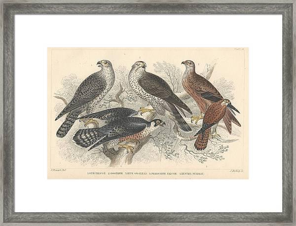 Falcons Framed Print