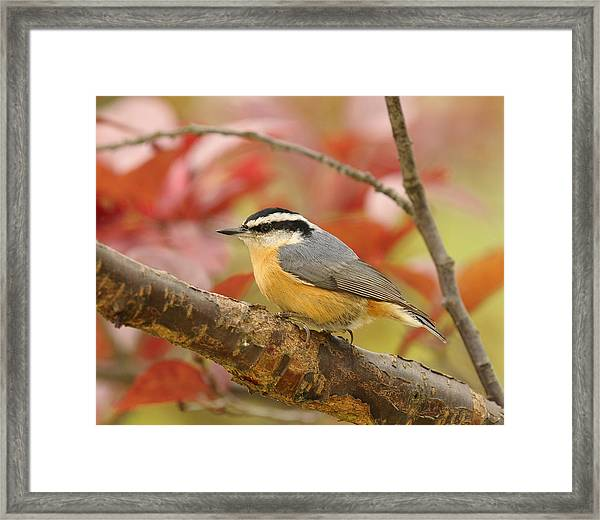 Fall Colors Nuthatch Framed Print