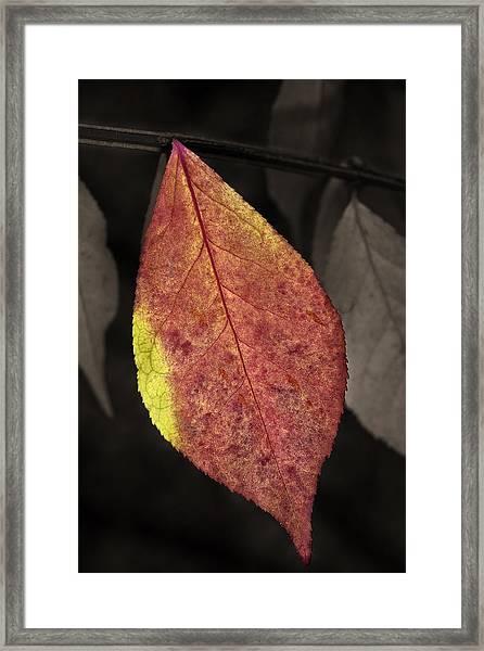 Fall Elder Leaf Framed Print