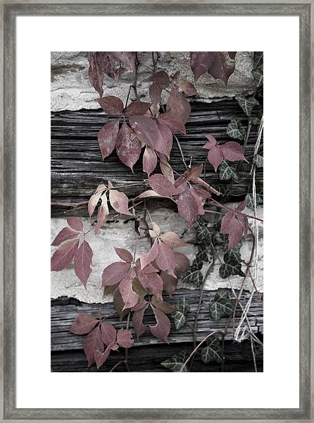 Fall Ivy Framed Print