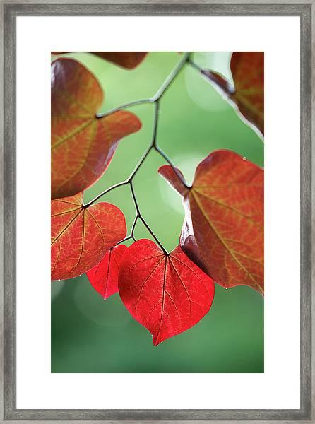 Redbud Framed Print