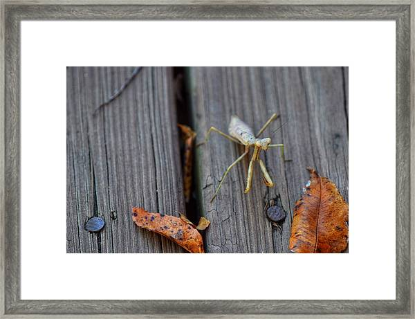 Fall Mantis  Framed Print