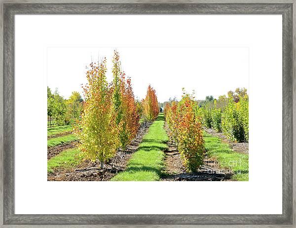 Fall On The Tree Farm Framed Print