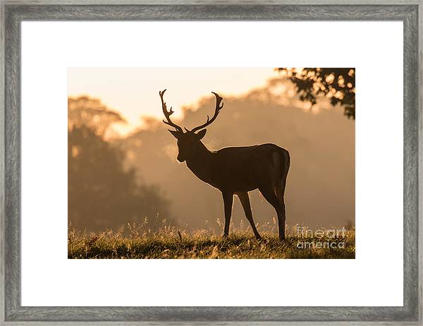 Fallow Deer At Sunrise Framed Print