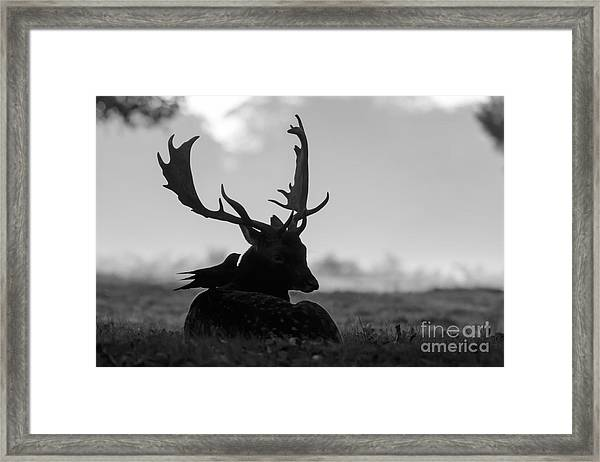 Fallow Deer With Friend - Black And White Framed Print