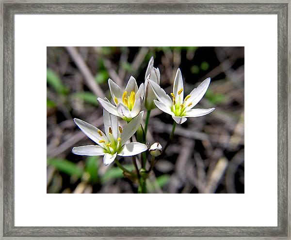 False Garlic Wild Flower Framed Print