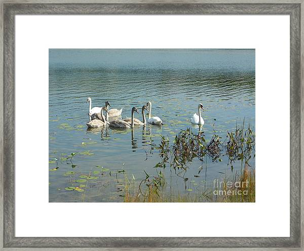 Family Of Swans Framed Print