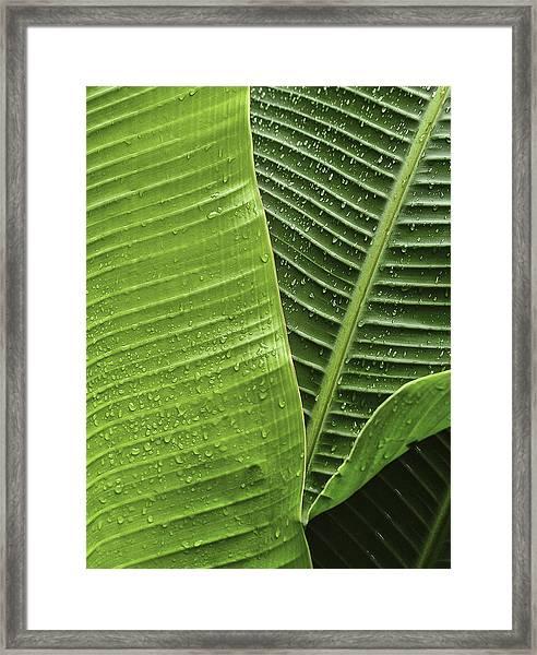Fan Palm Leaf 2 Framed Print