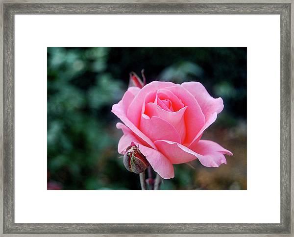 Fantin-latour Paris Roses Framed Print by JAMART Photography