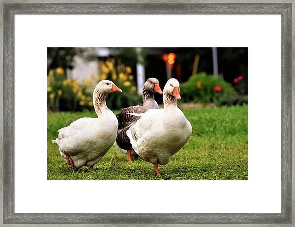 Farm Geese Framed Print