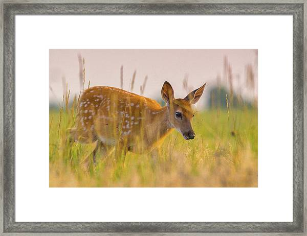 Framed Print featuring the photograph Fawn In Grasslands by John De Bord