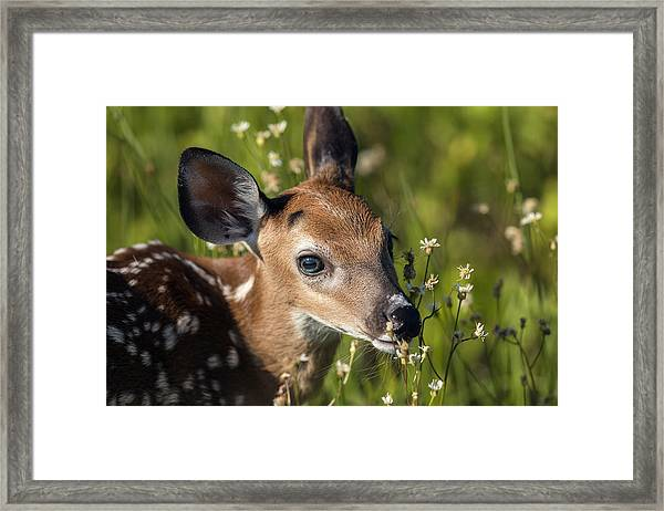 Fawn In Wildflowers Framed Print