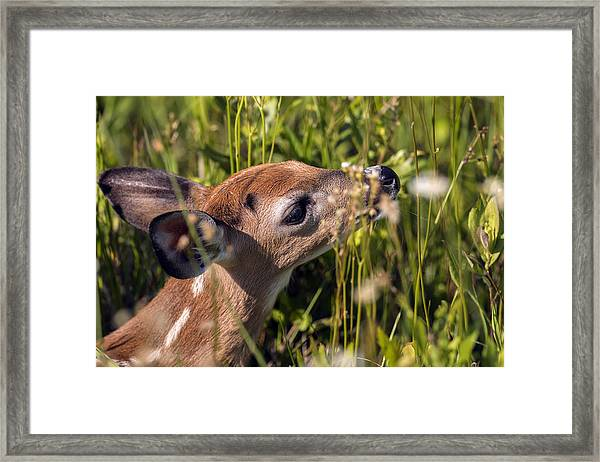 Fawn Smelling The Wildflowers Framed Print