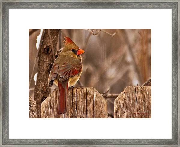 Female Cardinal On The Fence Framed Print
