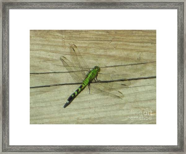 Female Eastern Pondhawk Dragonfly Framed Print