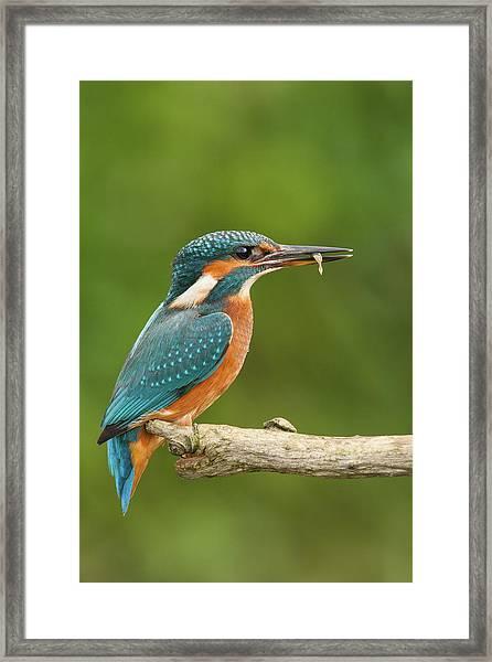 Female Kingfisher Framed Print