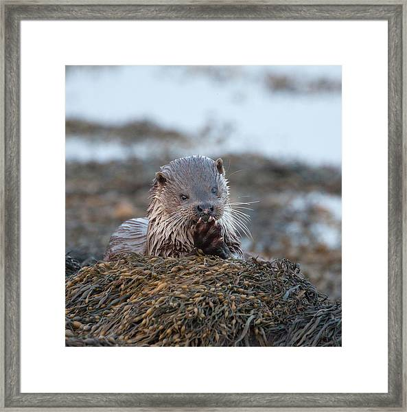Female Otter Eating Framed Print