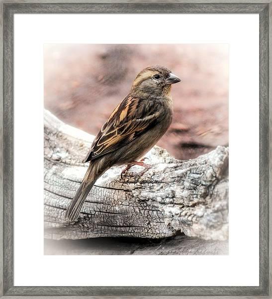 Female Sparrow Framed Print