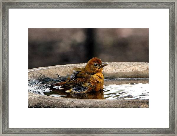 Female Summer Tanager In Bird Bath Framed Print