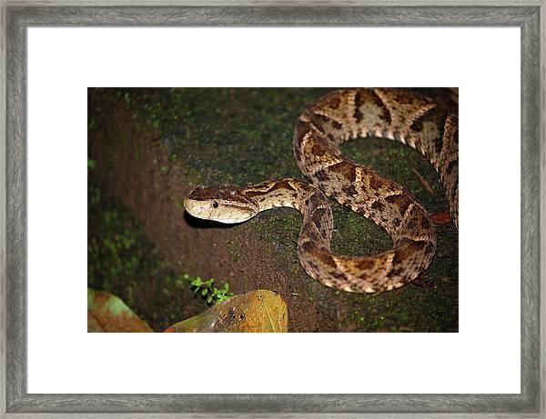 Framed Print featuring the photograph Fer-de-lance, Botherops Asper by Breck Bartholomew