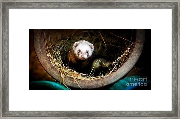 Ferret Home In Flower Pot  Framed Print