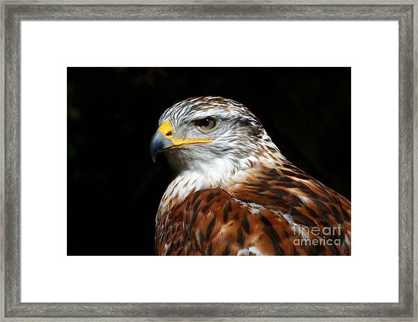 Ferruginous Hawk Portrait Framed Print