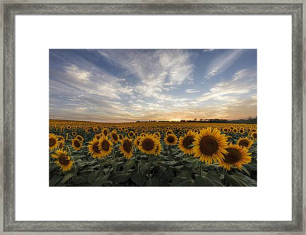 Field Of Gold Framed Print