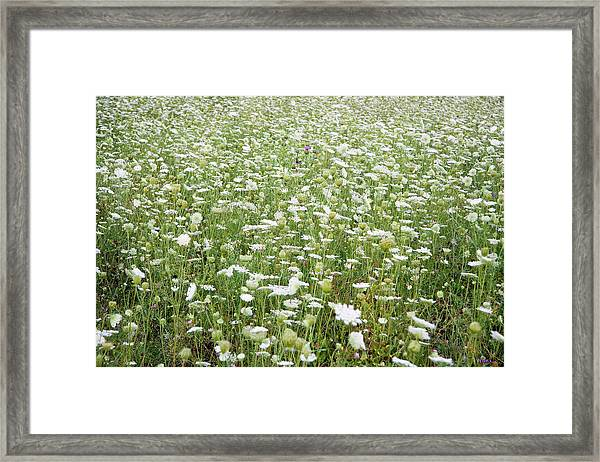 Field Of Queen Annes Lace Framed Print