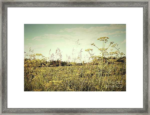 Field Of Wild Dill In The Afternoon Sun  Framed Print