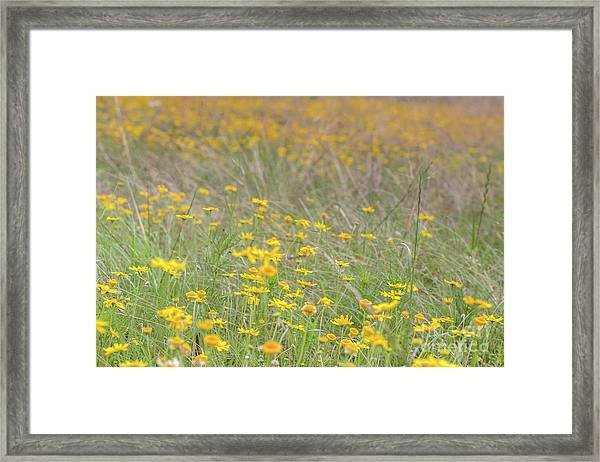 Field Of Yellow Flowers In A Sunny Spring Day Framed Print