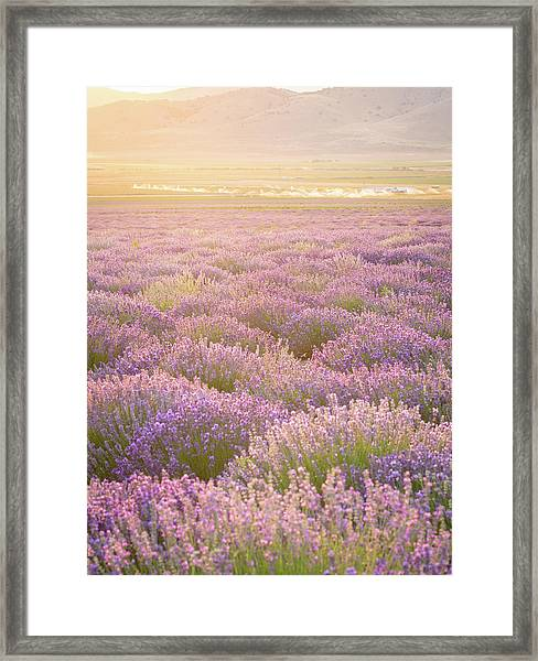 Fields Of Lavender Framed Print