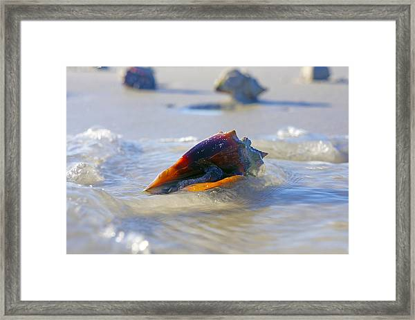 Fighting Conch On Beach Framed Print