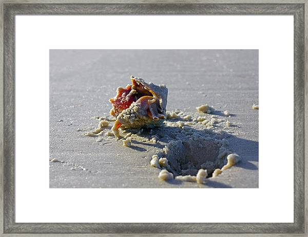 Fighting Conch On The Beach Framed Print