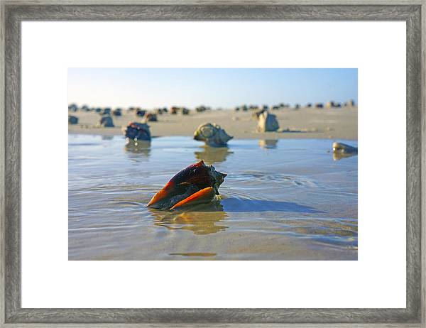 Fighting Conchs On The Sandbar Framed Print
