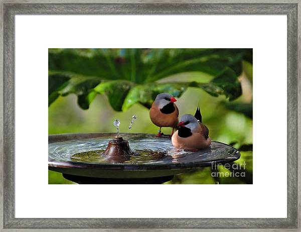 Finch Bath  Framed Print