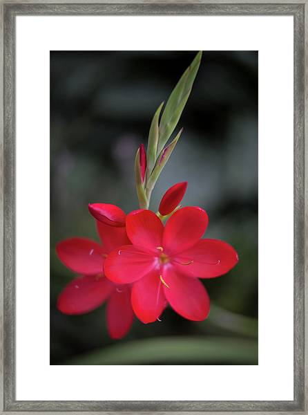 Fire Lily 2 Framed Print