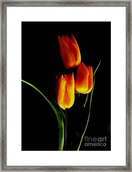 Fire Tulips Framed Print by Valia Bradshaw
