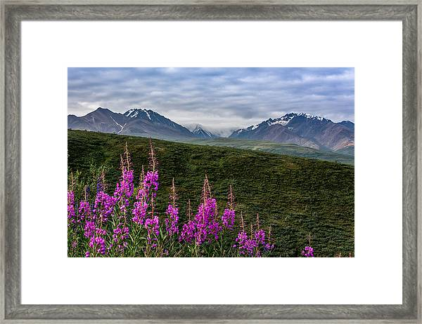 Framed Print featuring the photograph Fireweed In Denali by Claudia Abbott