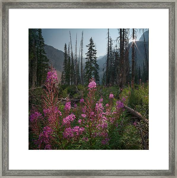 Fireweed Sunrise // Bob Marshall Wilderness  Framed Print