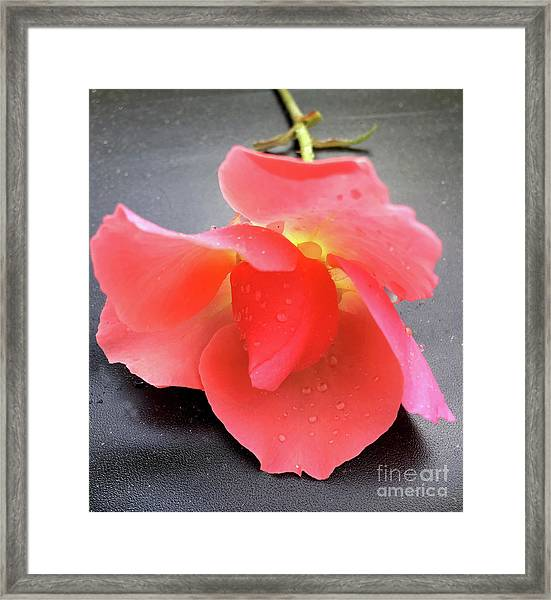 First Rose  Framed Print