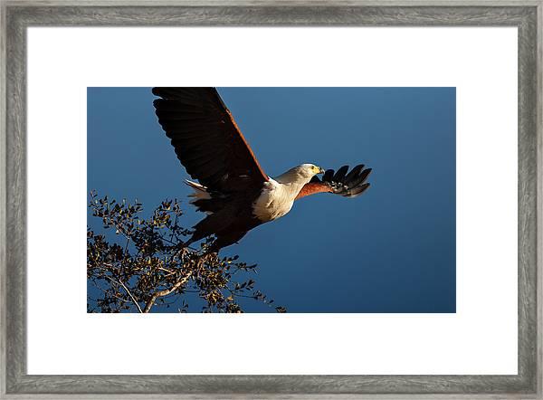 Fish Eagle Taking Flight Framed Print