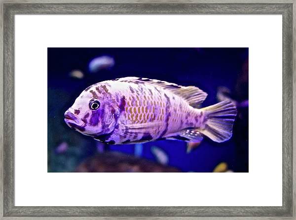 Calico Goldfish Framed Print