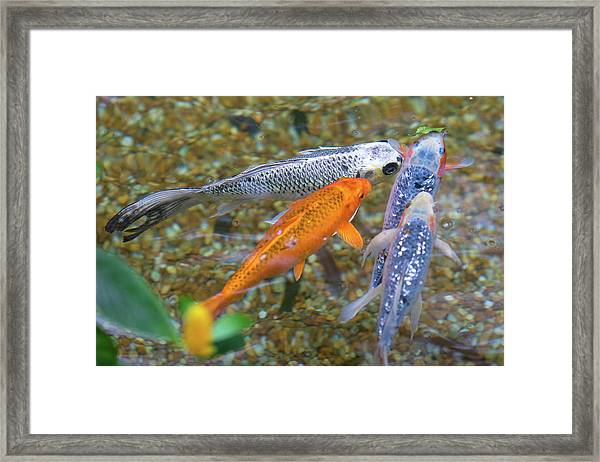 Fish Fighting For Food Framed Print
